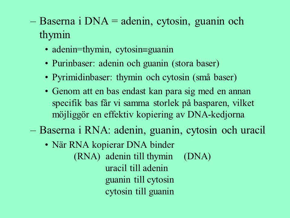 –Baserna i DNA = adenin, cytosin, guanin och thymin adenin=thymin, cytosin  guanin Purinbaser: adenin och guanin (stora baser) Pyrimidinbaser: thymin