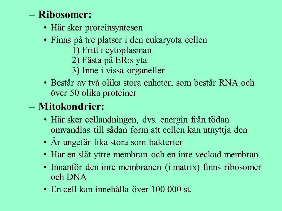 –Ribosomer: Här sker proteinsyntesen Finns på tre platser i den eukaryota cellen 1) Fritt i cytoplasman 2) Fästa på ER:s yta 3) Inne i vissa organelle