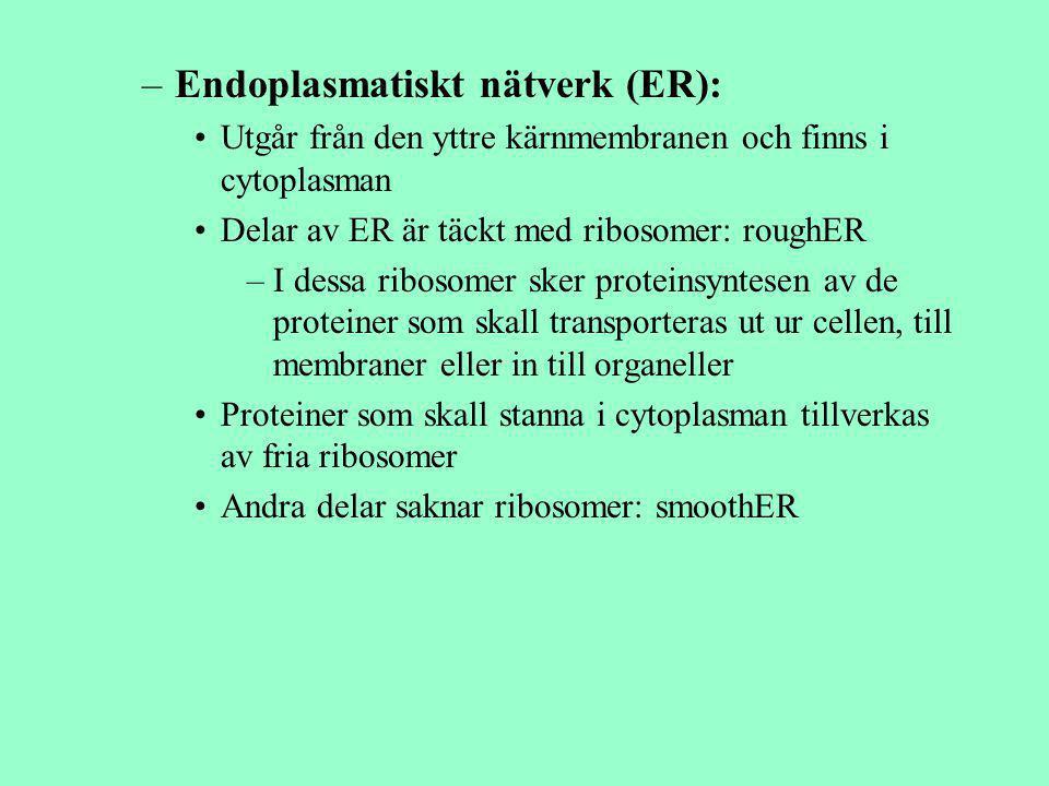 –Endoplasmatiskt nätverk (ER): Utgår från den yttre kärnmembranen och finns i cytoplasman Delar av ER är täckt med ribosomer: roughER –I dessa ribosom