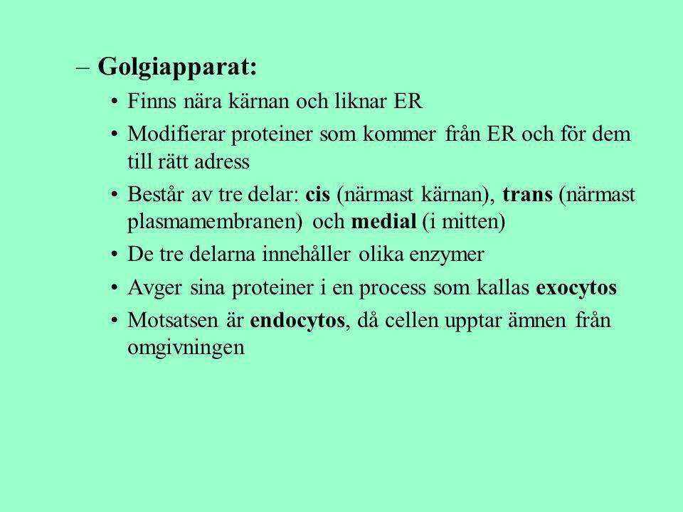 –Golgiapparat: Finns nära kärnan och liknar ER Modifierar proteiner som kommer från ER och för dem till rätt adress Består av tre delar: cis (närmast