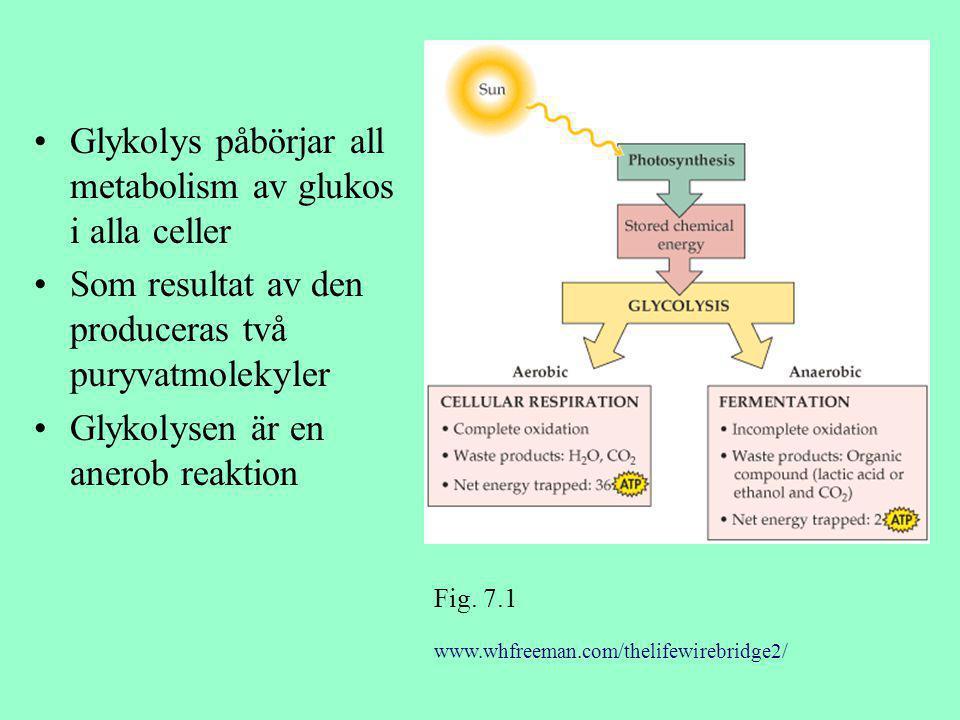 Glykolys påbörjar all metabolism av glukos i alla celler Som resultat av den produceras två puryvatmolekyler Glykolysen är en anerob reaktion www.whfr