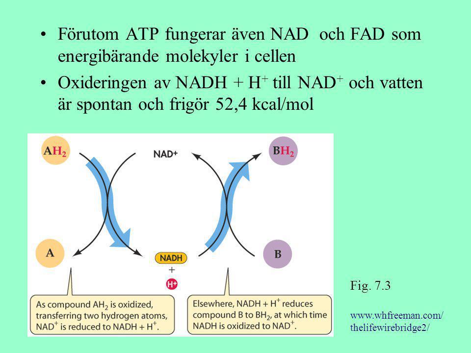 Förutom ATP fungerar även NAD och FAD som energibärande molekyler i cellen Oxideringen av NADH + H + till NAD + och vatten är spontan och frigör 52,4