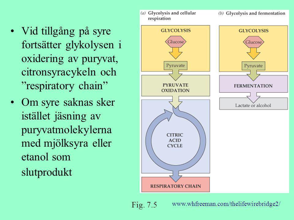 """Vid tillgång på syre fortsätter glykolysen i oxidering av puryvat, citronsyracykeln och """"respiratory chain"""" Om syre saknas sker istället jäsning av pu"""