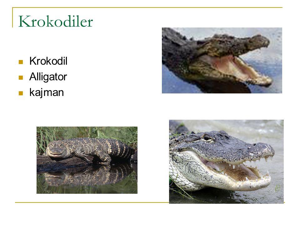 Krokodiler Krokodil Alligator kajman