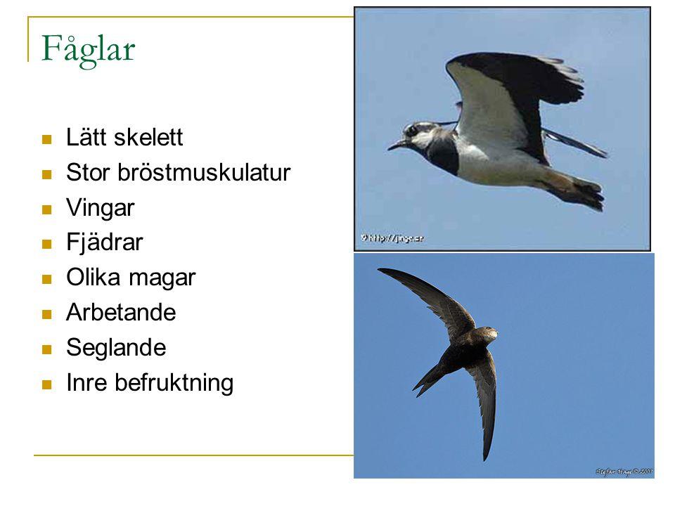 Fåglar Lätt skelett Stor bröstmuskulatur Vingar Fjädrar Olika magar Arbetande Seglande Inre befruktning