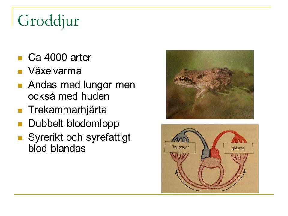 Groddjur Ca 4000 arter Växelvarma Andas med lungor men också med huden Trekammarhjärta Dubbelt blodomlopp Syrerikt och syrefattigt blod blandas