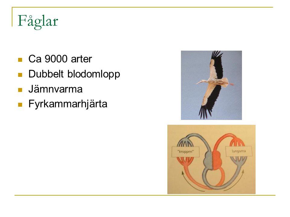 Fåglar Ca 9000 arter Dubbelt blodomlopp Jämnvarma Fyrkammarhjärta