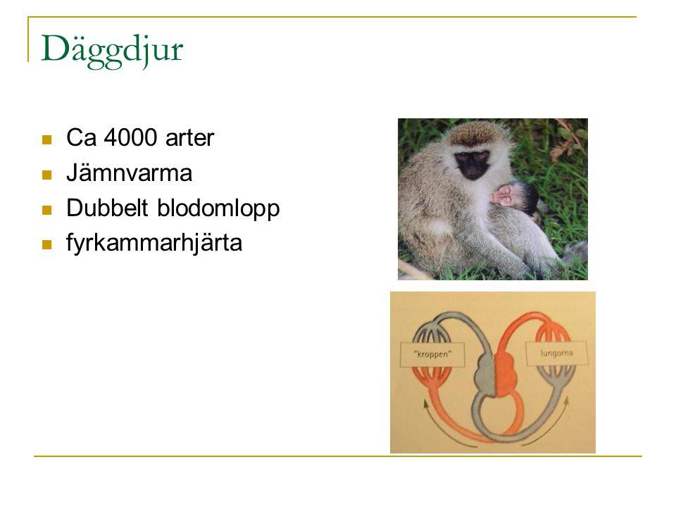 Däggdjur Ca 4000 arter Jämnvarma Dubbelt blodomlopp fyrkammarhjärta