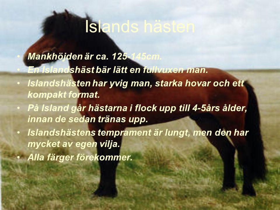 Islands hästen Mankhöjden är ca.125-145cm. En Islandshäst bär lätt en fullvuxen man.
