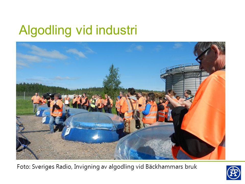 Algodling vid industri Foto: Sveriges Radio, Invigning av algodling vid Bäckhammars bruk