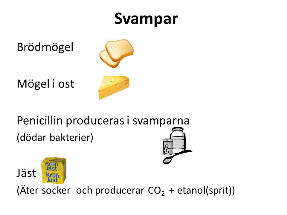 Svampar Brödmögel Mögel i ost Penicillin produceras i svamparna (dödar bakterier) Jäst (Äter socker och producerar CO 2 + etanol(sprit))