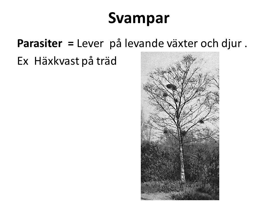 Symbios Svampar kan samarbeta med andra växter, ofta träd.
