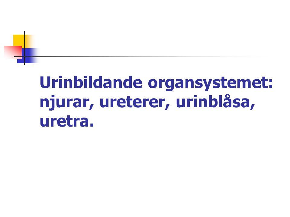 Urinblåsan består av slemhinna och glatt muskulatur Blåshalsen hålls stängd av inre sfinktern (glatt muskel) och ytttre sfinktern (bäckenbotten = tvärstrimmig muskel, viljestyrd).