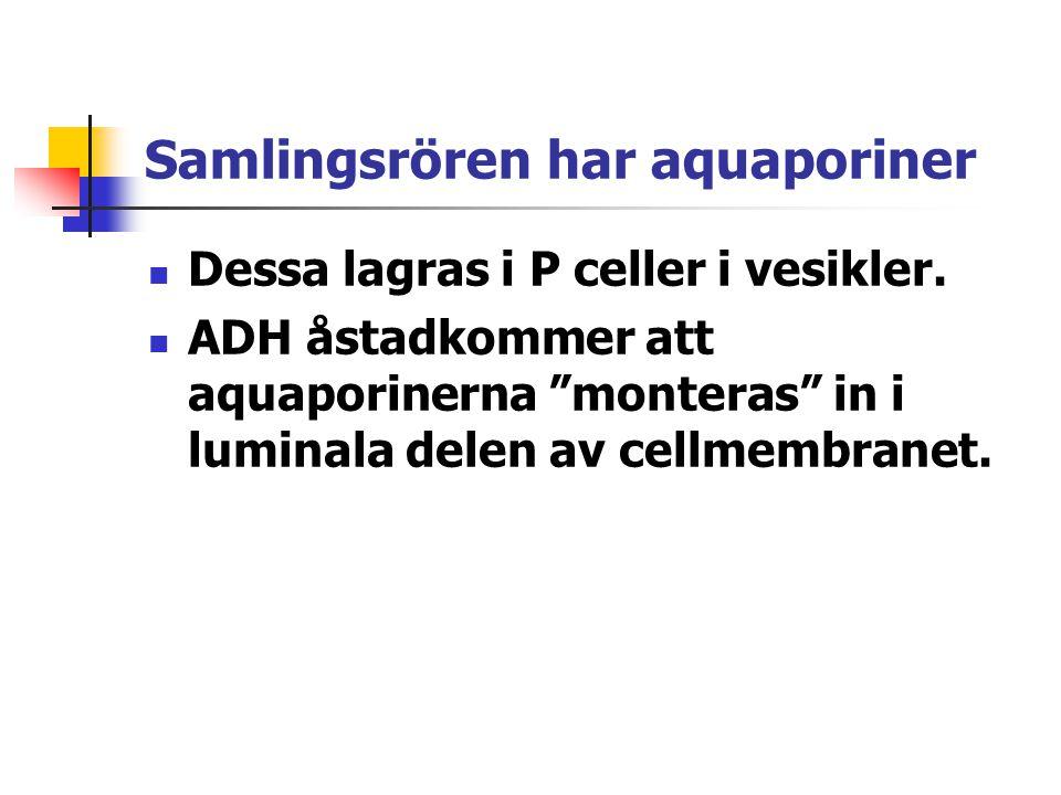"""Samlingsrören har aquaporiner Dessa lagras i P celler i vesikler. ADH åstadkommer att aquaporinerna """"monteras"""" in i luminala delen av cellmembranet."""