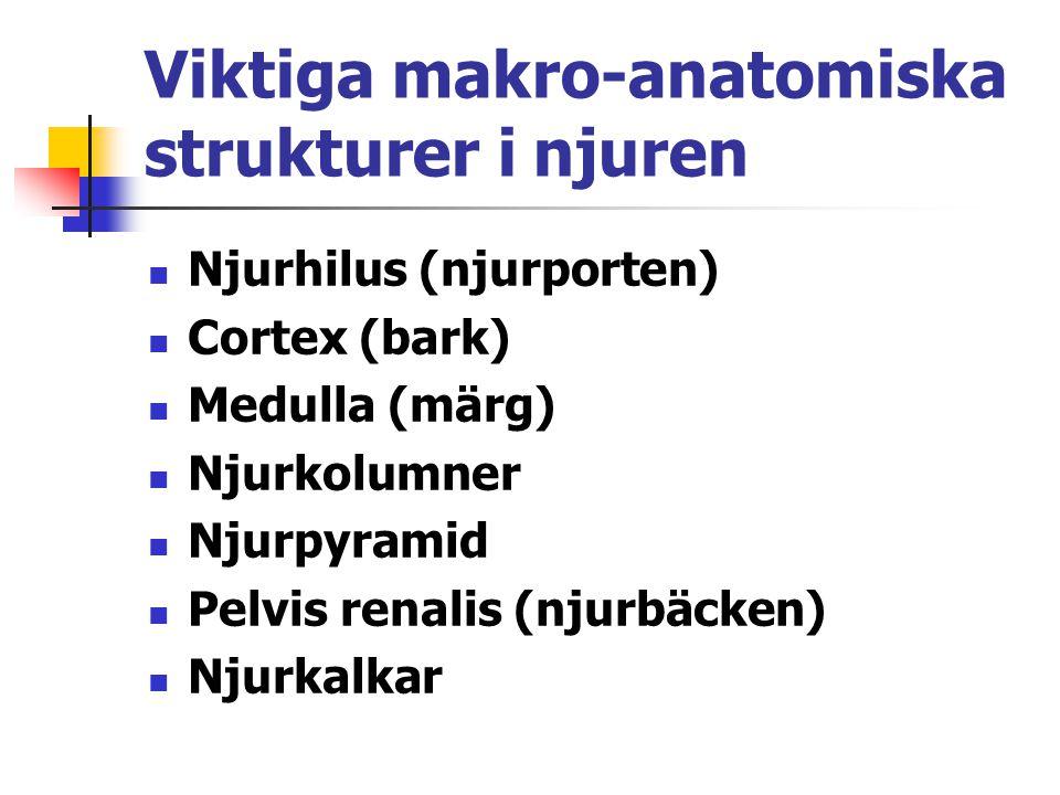 Sekretion i nefronet - vätejoner Vätejoner utsöndras till primärurinen i hela nefronet.