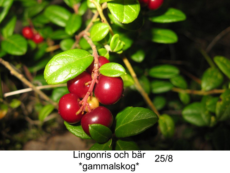 Lingonris och bär *gammalskog* 25/8