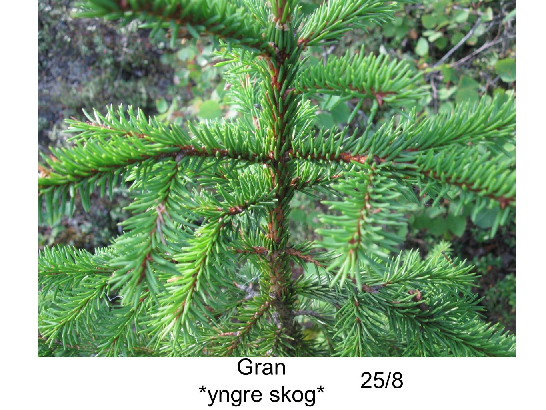Gran *yngre skog* 25/8