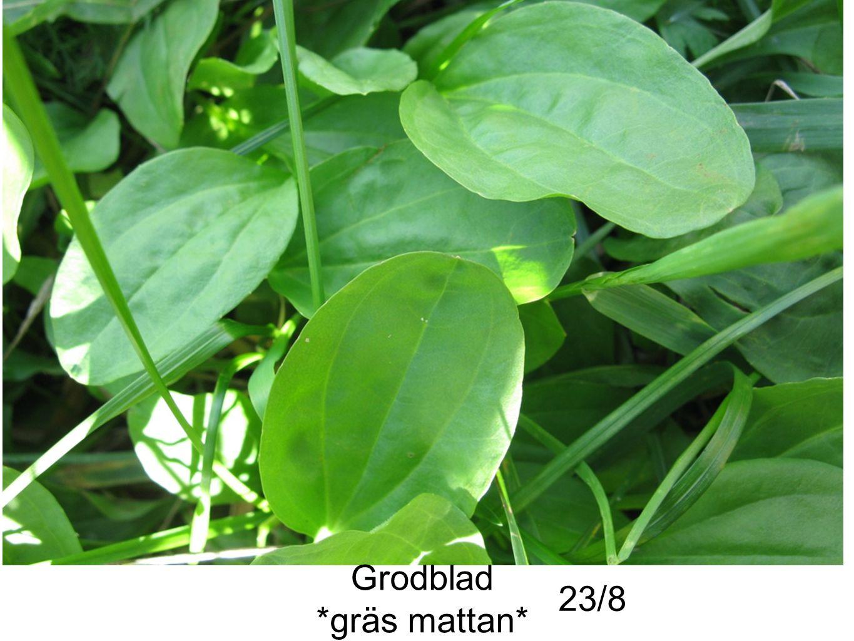 Grodblad *gräs mattan* 23/8