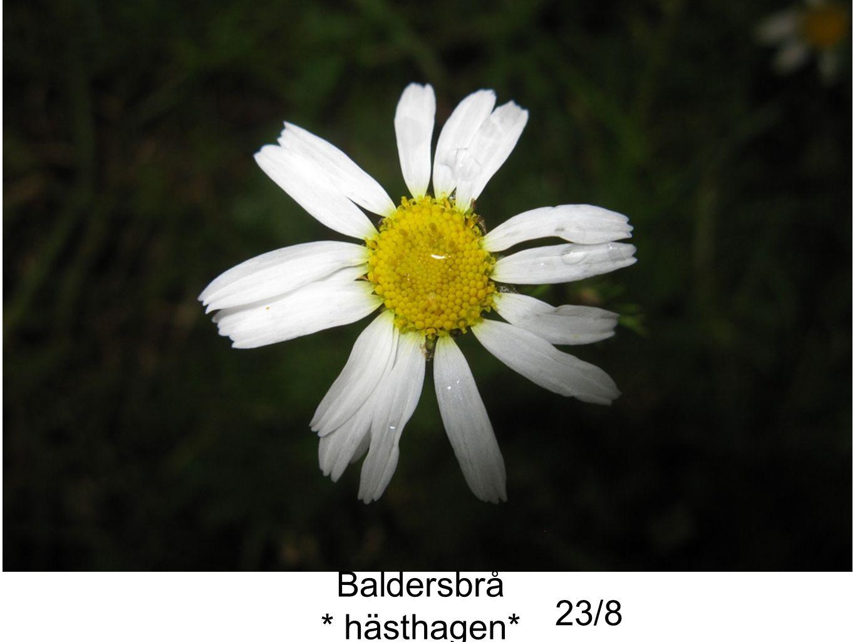 Baldersbrå * hästhagen* 23/8