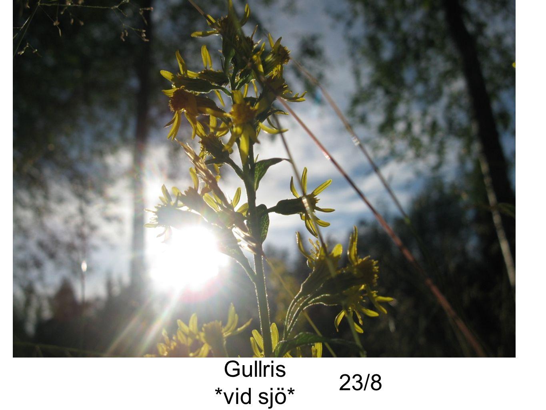 Gullris *vid sjö* 23/8