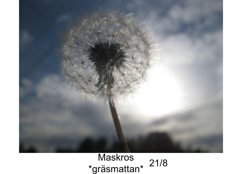 Maskros *gräsmattan* 21/8