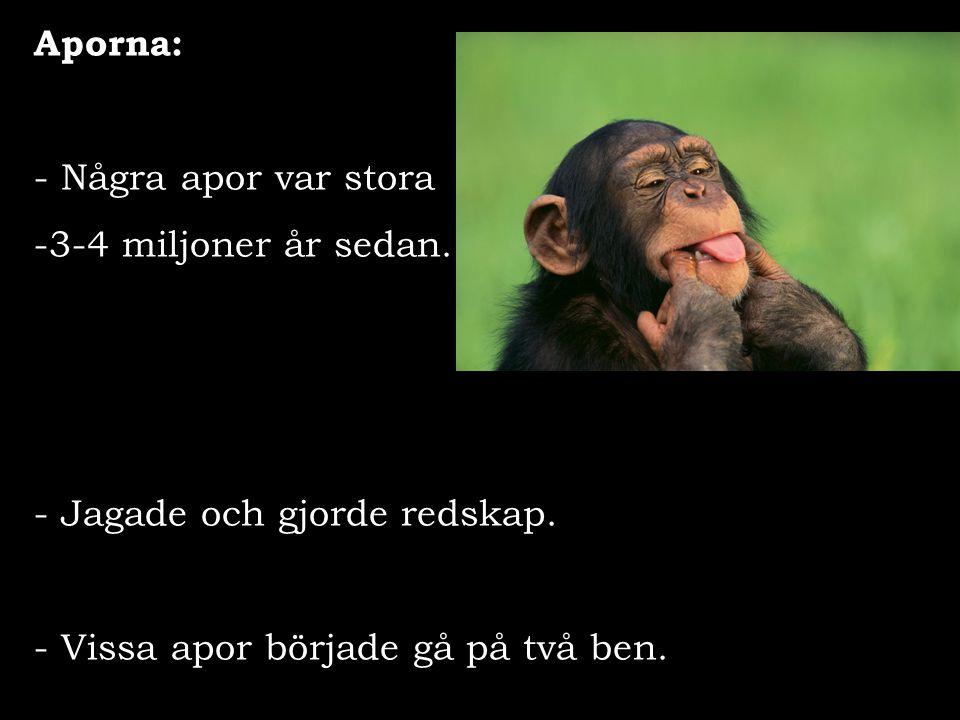 Aporna: - Några apor var stora -3-4 miljoner år sedan. - Jagade och gjorde redskap. - Vissa apor började gå på två ben.
