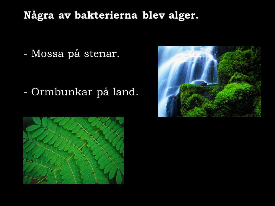 Några av bakterierna blev alger. - Mossa på stenar. - Ormbunkar på land.
