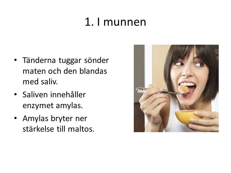 1. I munnen Tänderna tuggar sönder maten och den blandas med saliv. Saliven innehåller enzymet amylas. Amylas bryter ner stärkelse till maltos.