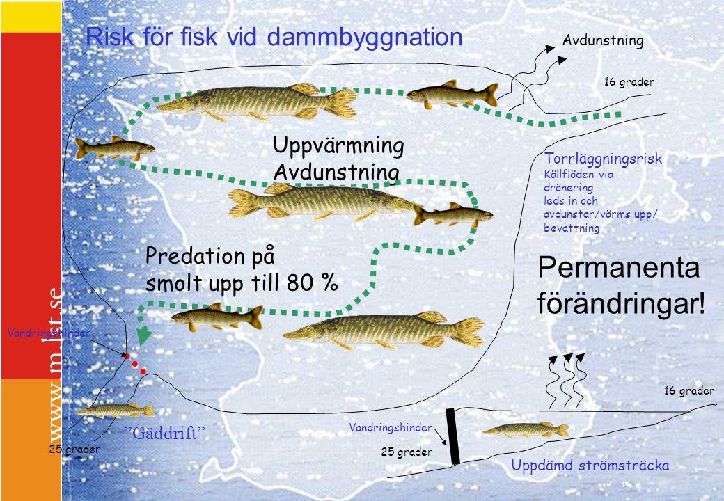 Risk för fisk vid dammbyggnation Torrläggningsrisk Källflöden via dränering leds in och avdunstar/värms upp/ bevattning Vandringshinder Uppvärmning Av