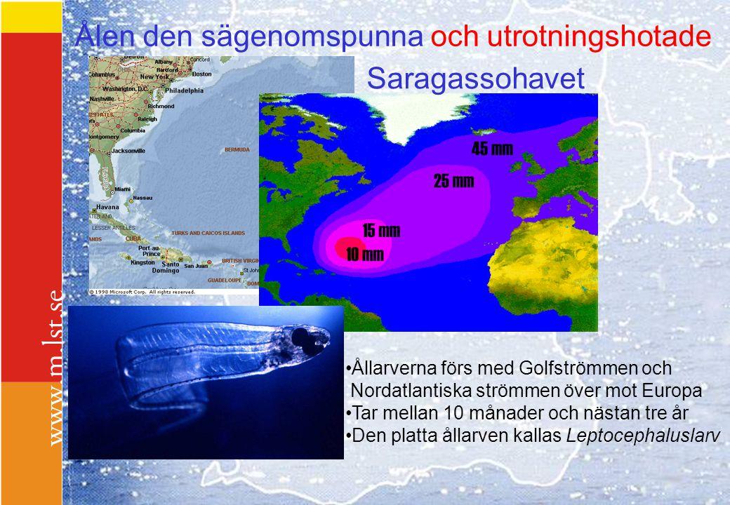 Saragassohavet Ållarverna förs med Golfströmmen och Nordatlantiska strömmen över mot Europa Tar mellan 10 månader och nästan tre år Den platta ållarve