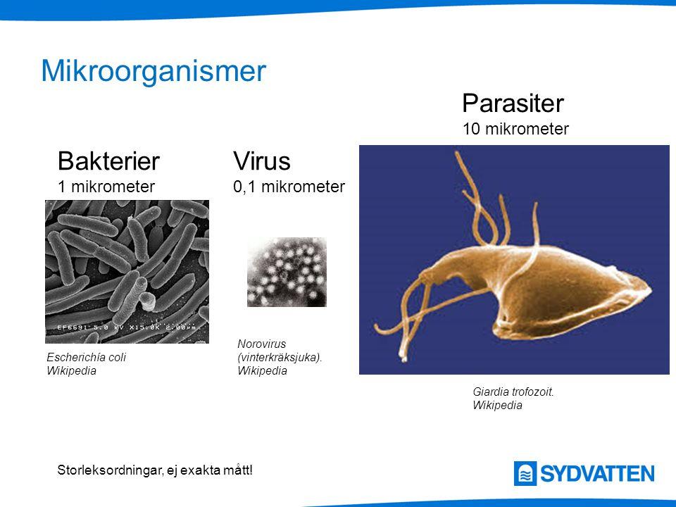 Escherichía coli Wikipedia Mikroorganismer Norovirus (vinterkräksjuka). Wikipedia Giardia trofozoit. Wikipedia Bakterier 1 mikrometer Virus 0,1 mikrom