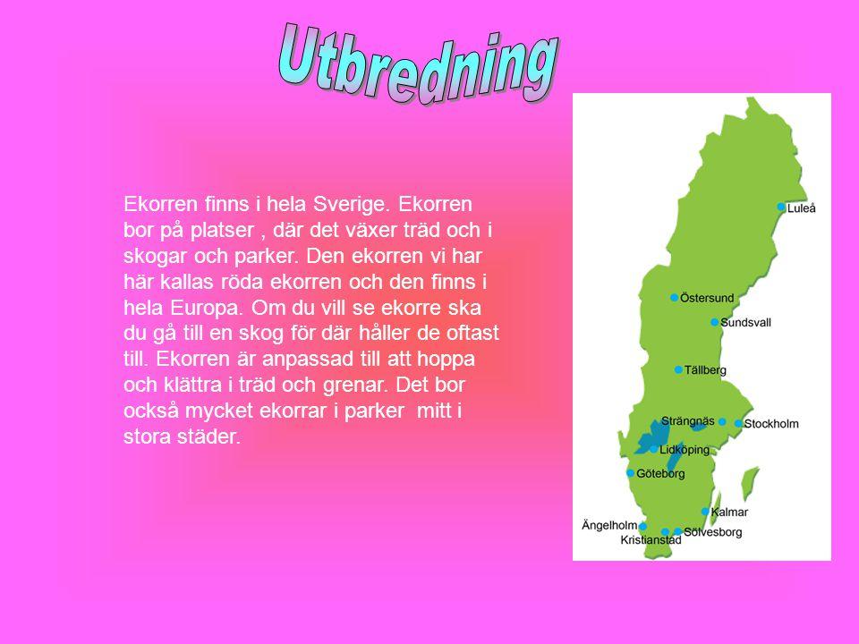 Ekorren finns i hela Sverige. Ekorren bor på platser, där det växer träd och i skogar och parker. Den ekorren vi har här kallas röda ekorren och den f
