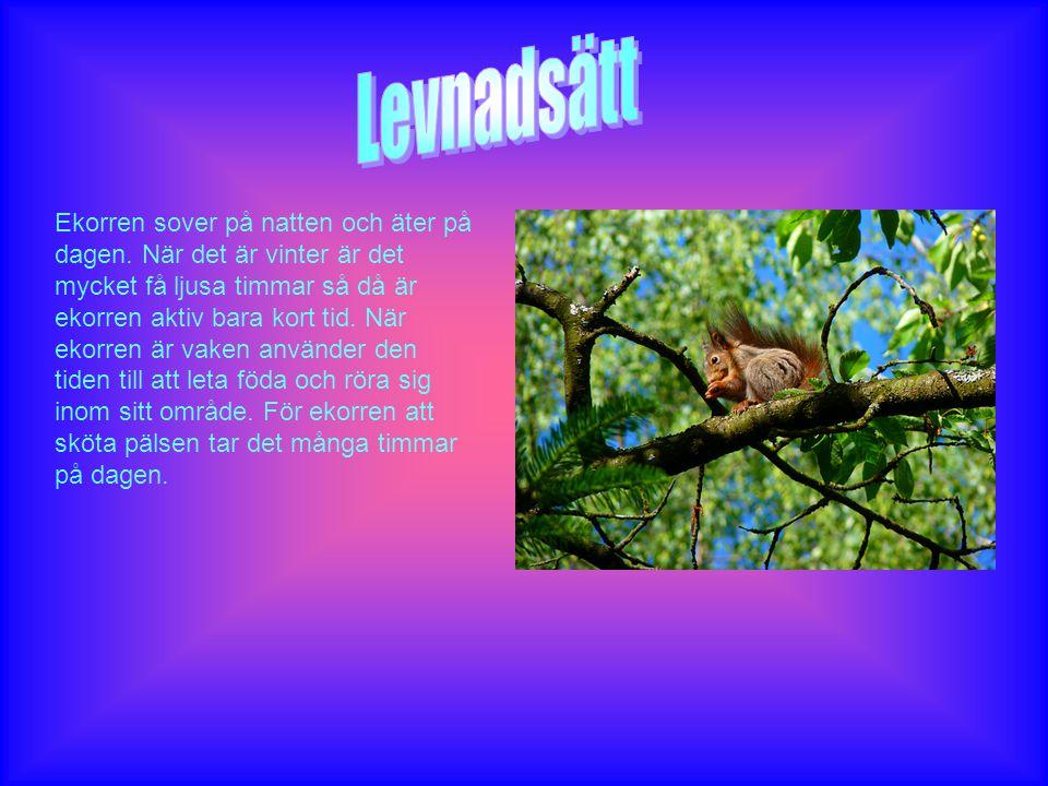 Ekorren sover på natten och äter på dagen. När det är vinter är det mycket få ljusa timmar så då är ekorren aktiv bara kort tid. När ekorren är vaken