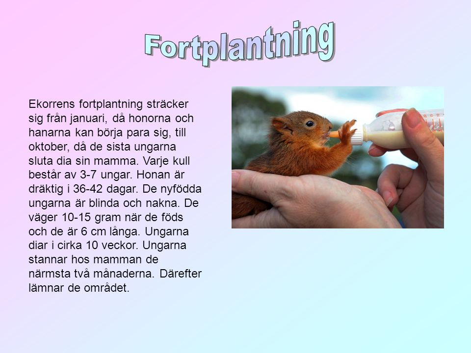 Ekorrens fortplantning sträcker sig från januari, då honorna och hanarna kan börja para sig, till oktober, då de sista ungarna sluta dia sin mamma. Va
