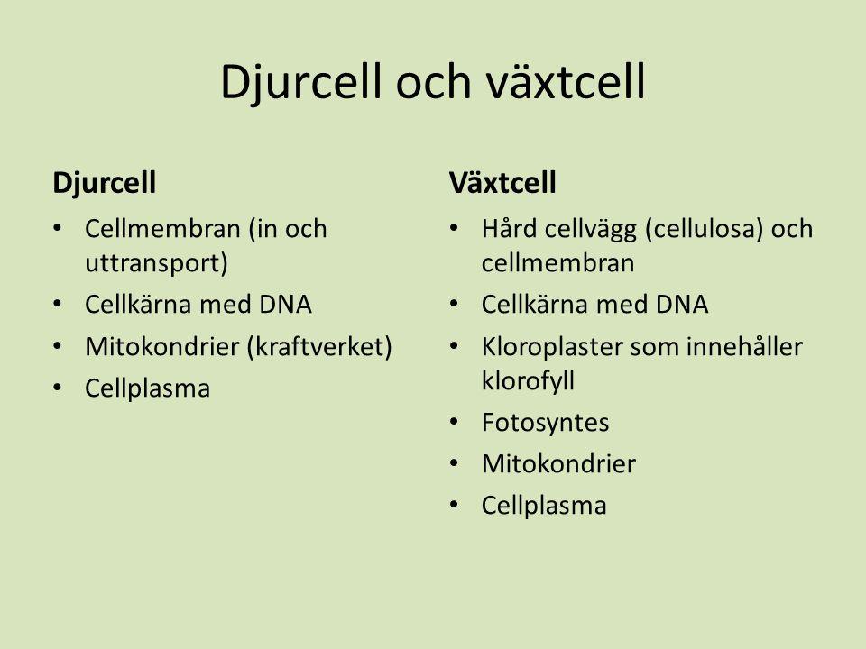 Djurcell och växtcell Djurcell Cellmembran (in och uttransport) Cellkärna med DNA Mitokondrier (kraftverket) Cellplasma Växtcell Hård cellvägg (cellul