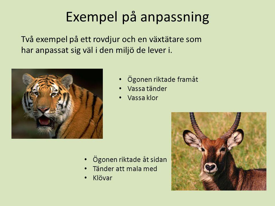 Exempel på anpassning Två exempel på ett rovdjur och en växtätare som har anpassat sig väl i den miljö de lever i. Ögonen riktade framåt Vassa tänder