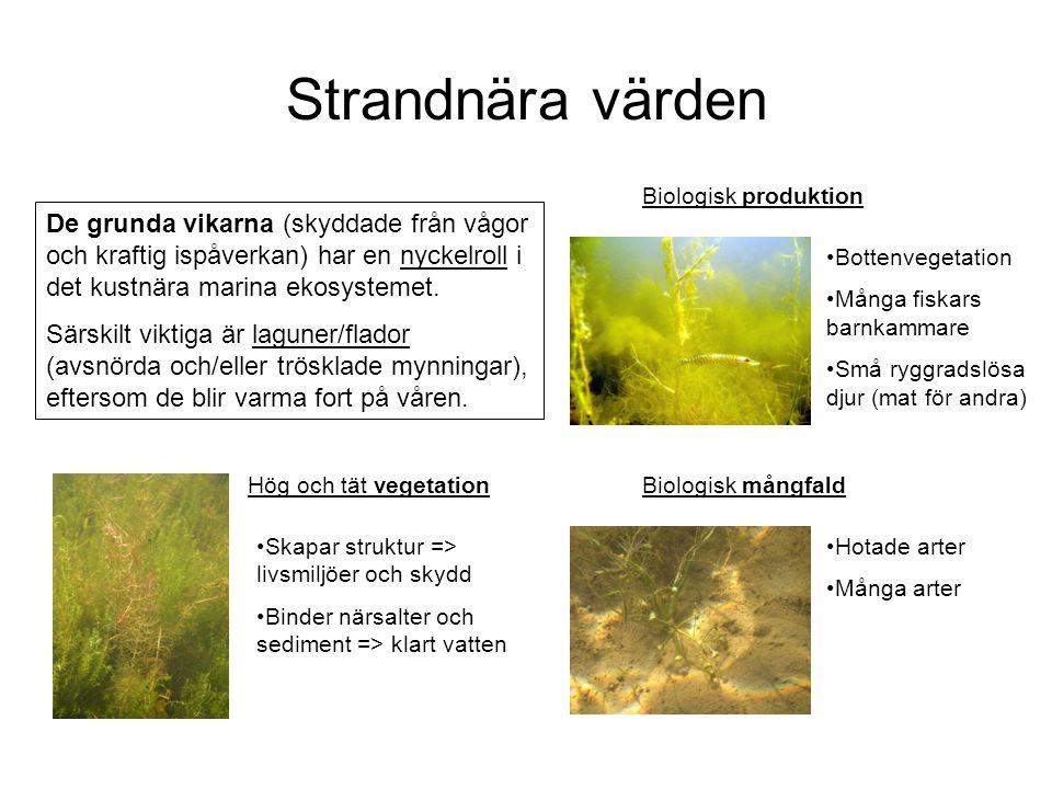 Strandnära värden Biologisk produktion De grunda vikarna (skyddade från vågor och kraftig ispåverkan) har en nyckelroll i det kustnära marina ekosyste