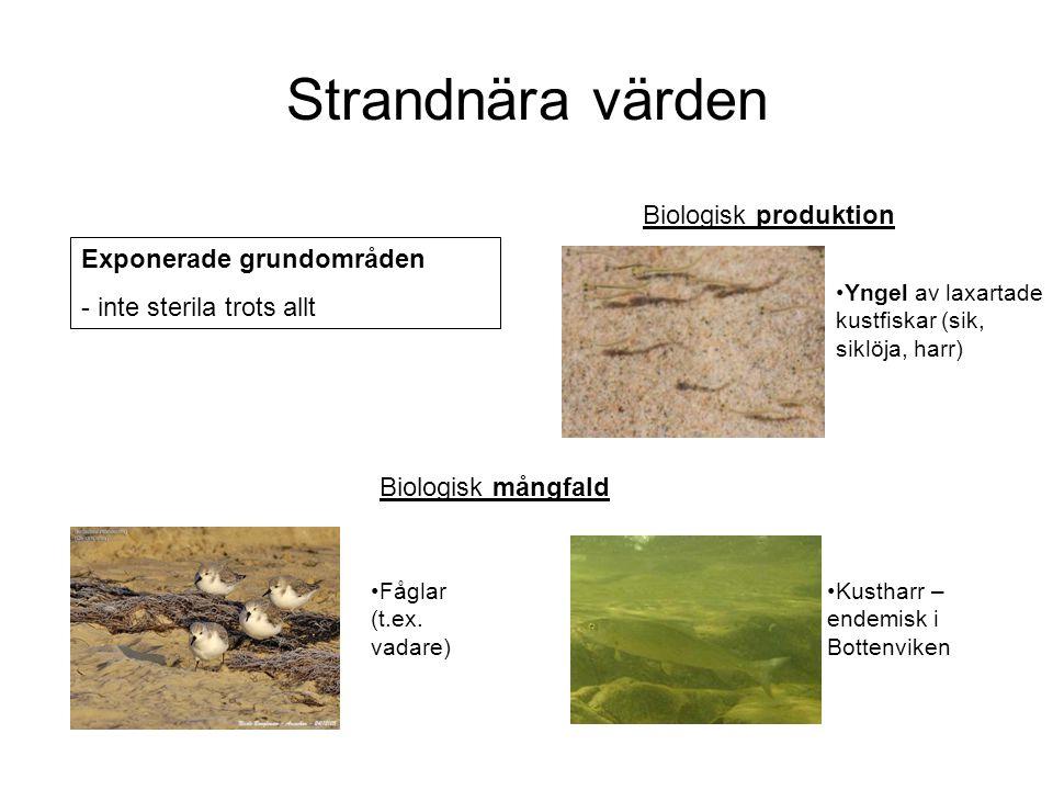 Strandnära värden Biologisk produktion Exponerade grundområden - inte sterila trots allt Yngel av laxartade kustfiskar (sik, siklöja, harr) Kustharr –