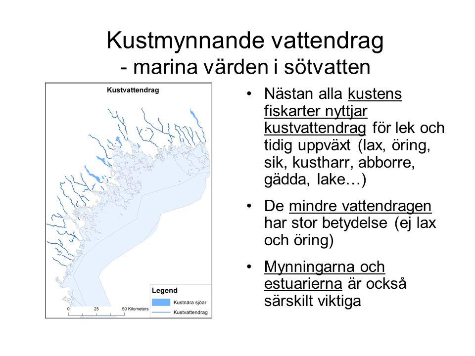 Kustmynnande vattendrag - marina värden i sötvatten Nästan alla kustens fiskarter nyttjar kustvattendrag för lek och tidig uppväxt (lax, öring, sik, k