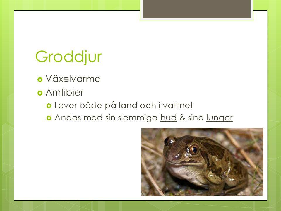 Groddjur  Växelvarma  Amfibier  Lever både på land och i vattnet  Andas med sin slemmiga hud & sina lungor