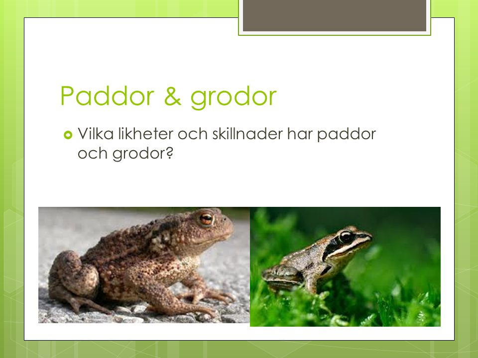 Paddor & grodor  Vilka likheter och skillnader har paddor och grodor?
