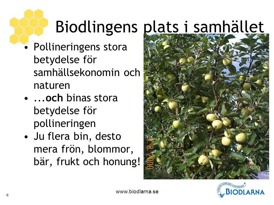 © www.biodlarna.se Biodlingens plats i samhället Pollineringens stora betydelse för samhällsekonomin och naturen...och binas stora betydelse för pollineringen Ju flera bin, desto mera frön, blommor, bär, frukt och honung!