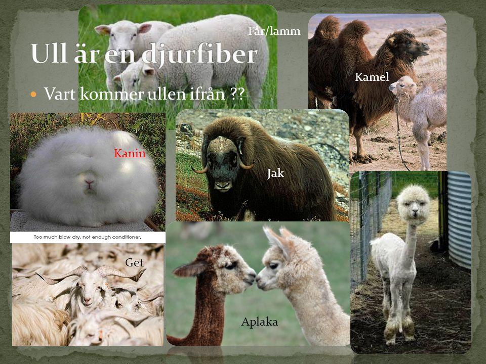 Vart kommer ullen ifrån ?? Får/lamm Kanin Get Kamel Jak Aplaka