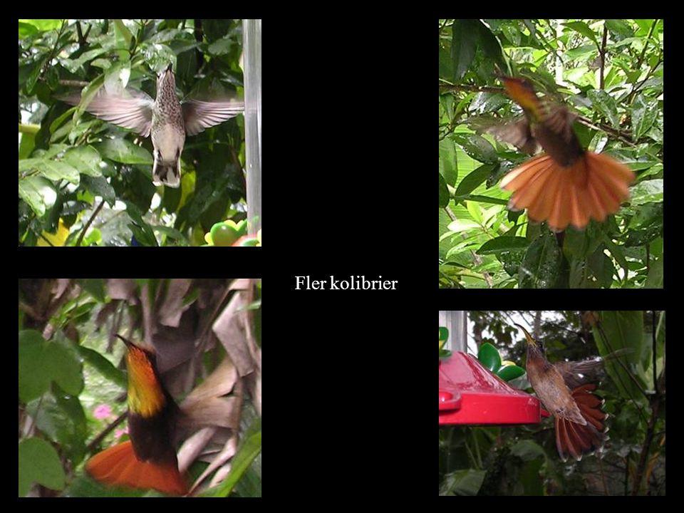 Fler kolibrier