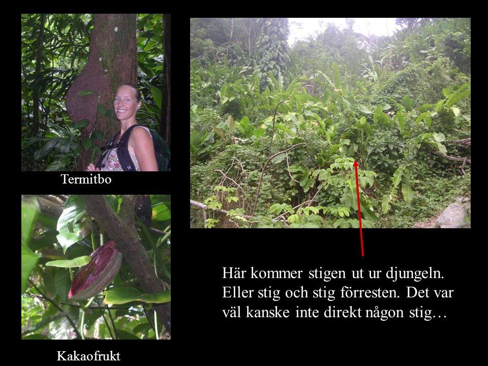Kakaofrukt Här kommer stigen ut ur djungeln. Eller stig och stig förresten. Det var väl kanske inte direkt någon stig… Termitbo