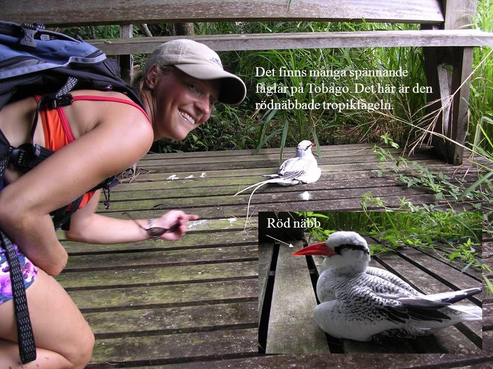 Det finns många spännande fåglar på Tobago. Det här är den rödnäbbade tropikfågeln. Röd näbb
