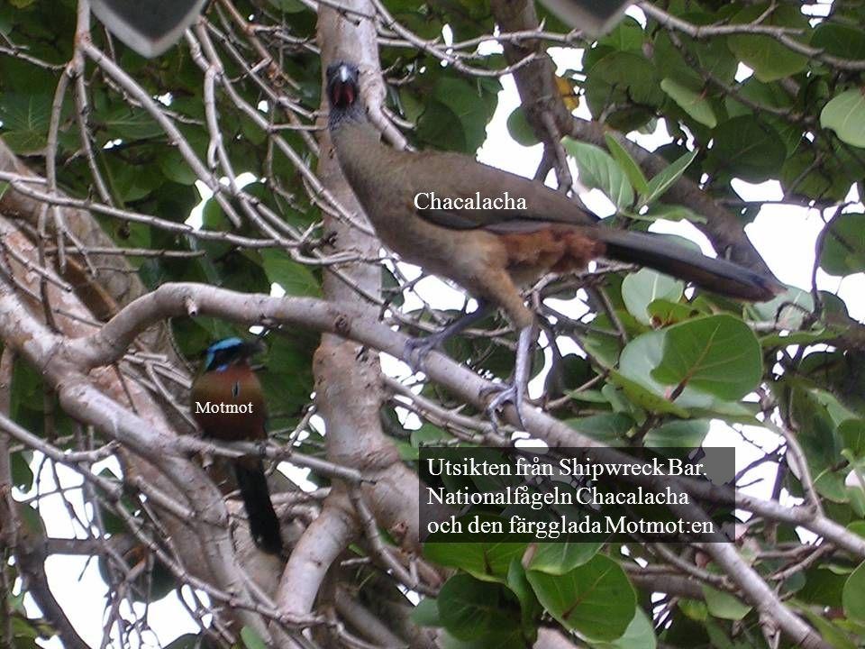 Utsikten från Shipwreck Bar. Nationalfågeln Chacalacha och den färgglada Motmot:en Chacalacha Motmot