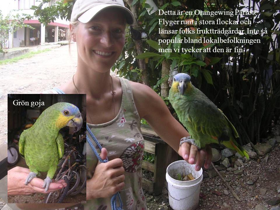 Detta är en Orangewing Parrot. Flyger runt i stora flockar och länsar folks fruktträdgårdar.