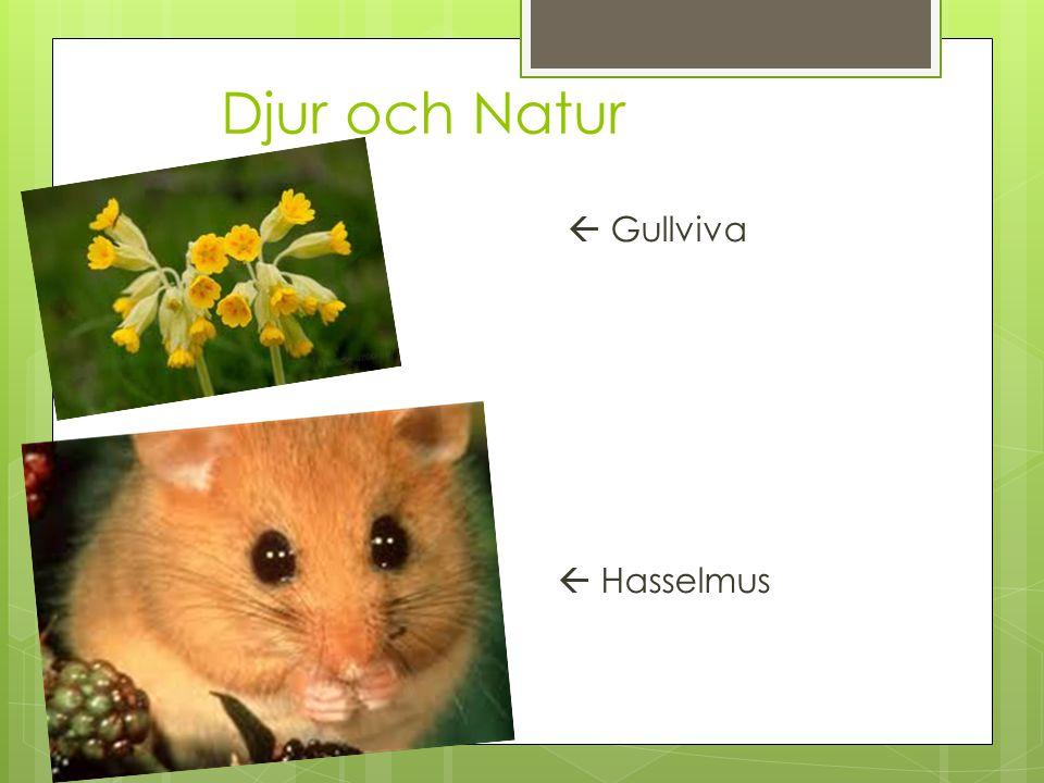 Djur och Natur  Gullviva  Hasselmus