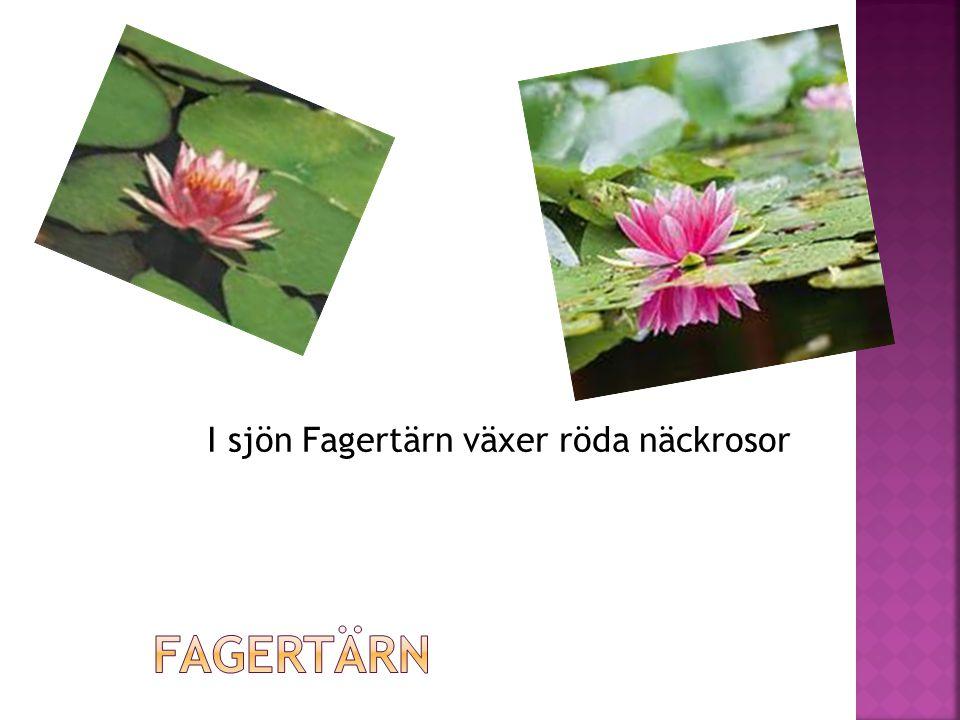 I sjön Fagertärn växer röda näckrosor
